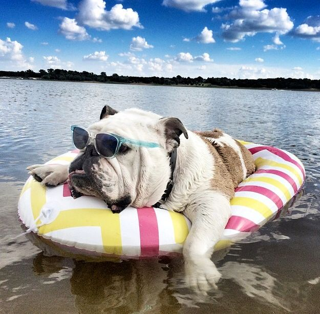 bulldog on a inflatable ring on a lake